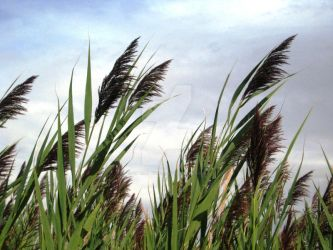 CCS2: Reeds in the Wind by opticalripple