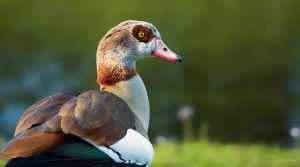 Egyptian Goose by PaulaDarwinkel