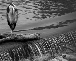 Patiently waiting Heron by Mincingyoda