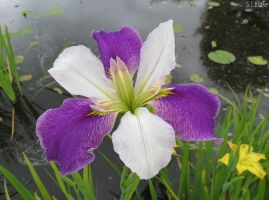 Louisiana Iris by kiwipics