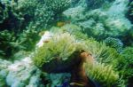 Clown fishes and anemone - Photo 14 Maldives by Kooskia