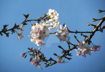 Japanese Cherry Blossom I by AderynDawn