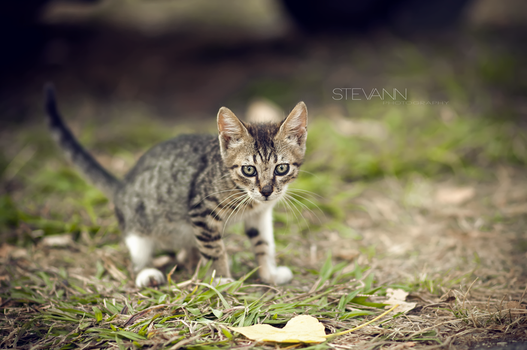 kitten by StevaNN