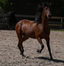 Bay morgan trot by equustock