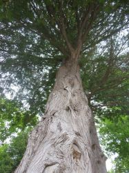 Cedar Tree looking up 1 by Shell4You