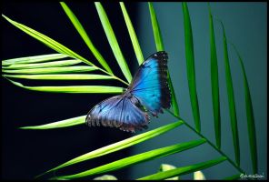 Morpho peleides by andrearossi