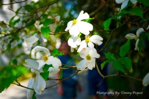Dogwood Blooms 2450 by TommyPropest-Candler