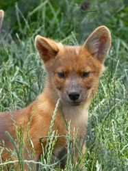 Mad About The Dhole by Mouselemur