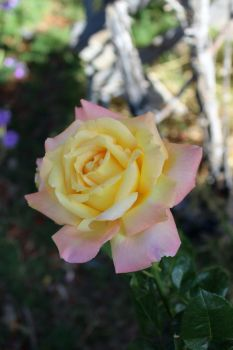 Peace Rose 2 by hclausen