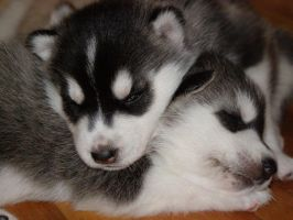 my new pups by silver5160