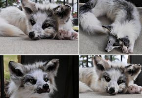 Marble cross fox softmount for sale by FoxyCreations