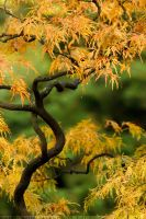 Acer Autumn by thrumyeye
