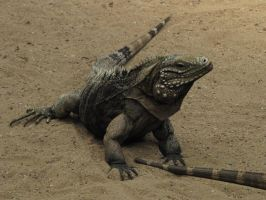 Cuban Ground Iguana 02 by animalphotos