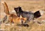 Nevermind the color, foxes are crazy by woxys