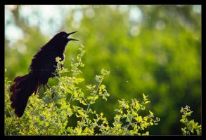 Great-tailed Grackle: Calling by Flame-of-the-Phoenix