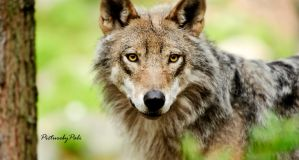 The Magical eyes of a Wolf by PictureByPali