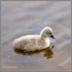 One Baby Swan by Mogrianne
