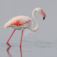 Greater Flamingo by Jamie-MacArthur