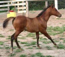 103 : Foal Canter by Nylak-Stock