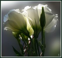 eustoma by grandma-S