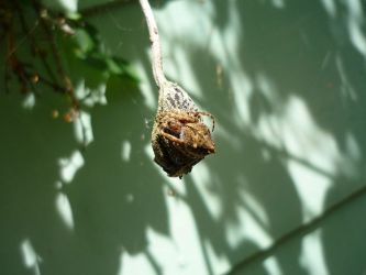 Bud Spider by Aljn