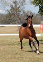 GE Arab bay trot front view impressed with self by Chunga-Stock