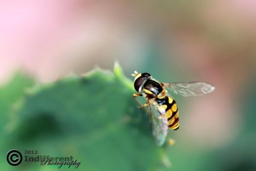 Common Hover Fly xD by IndifferentPhotos