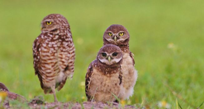 Little Owls in Florida by AdARDurden