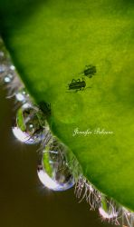 Tiny Aphids by lilfrogs