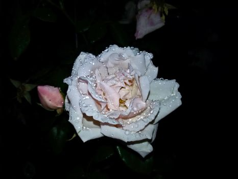 Raindrops on a white rose by mbrv4ever