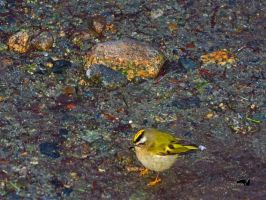 Gold Crowned Kinglet In muddy Ground by wolfwings1