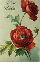 Classy Red Ranunculus by Yesterdays-Paper