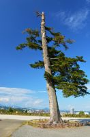 A pine tree at Aoba Castle by Furuhashi335