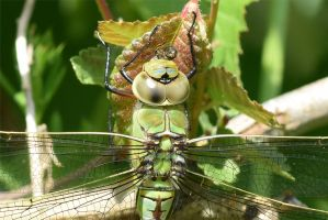 0355 Green Dragonfly by RealMantis