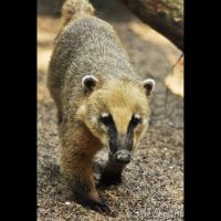 Animals 95  Ring-tailed Coati by cinnabarr