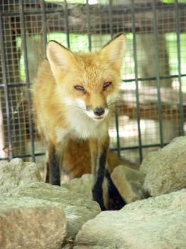 Red Fox 01 by LinzStock
