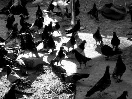 Pigeons by cavenaghi9