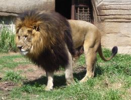 lion by turtledove-stock