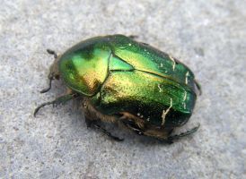 Beetle by thehoverworm