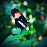 heliconius melpomene by SMT-Images