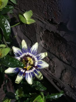 Passion flower by blackroselover