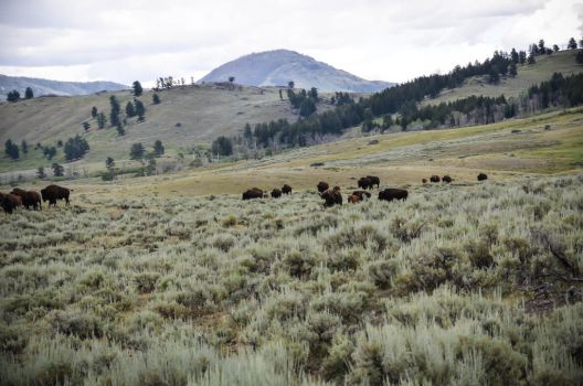 Bison Herd 02 by liorelysia