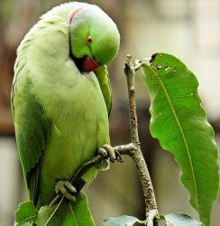 parrot cleaning feathers by kumarvijay1708