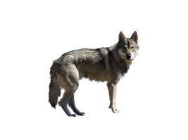 DOG PNG by ScyllaWolf