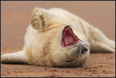 Sleepy Grey Seal Pup by nitsch