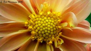 Dahlia Flower Macro by BreeSpawn