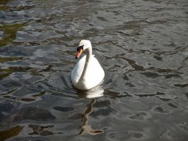 STOCK Swan 2 by Inilein