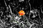 Color Splash Poppy by LeWelsch