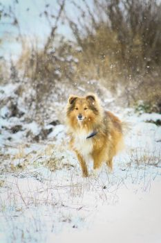 Erick the sheltie in the snow! by LocoMrk