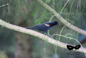Red Wing Blackbird by coldstares